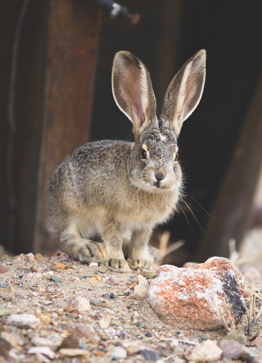 jack rabbit, rabbit, hare
