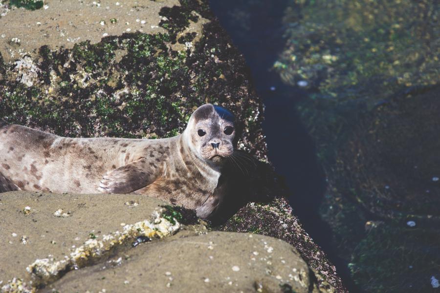 san diego, california, seal, children's pool