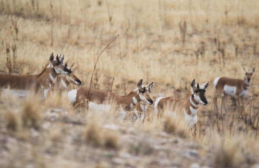 pronghorn, antelope island