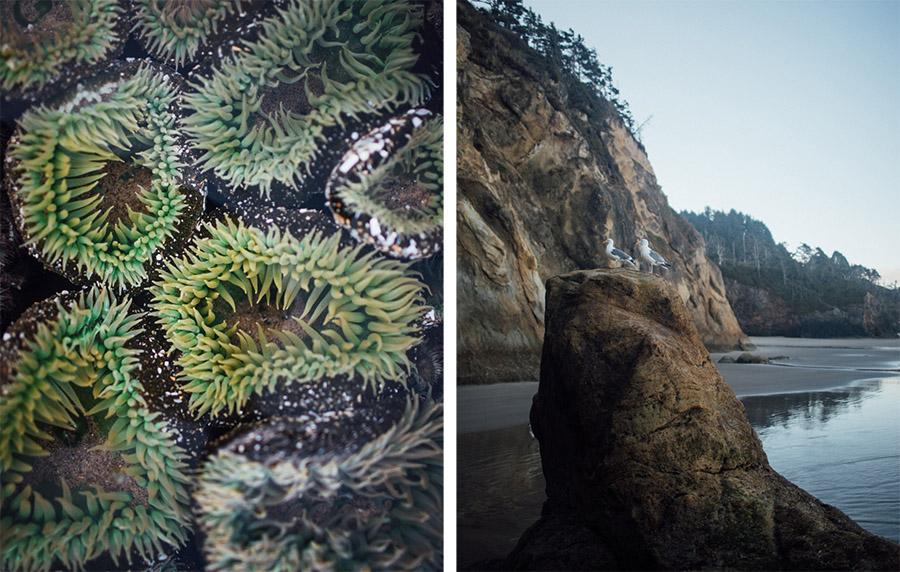 Hug Point anemones