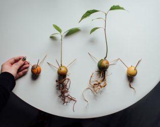 adventures in avocado propagation VII